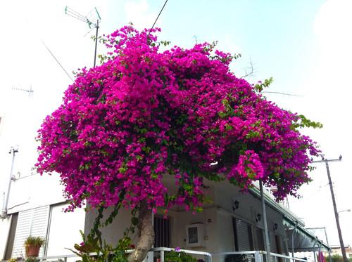 Grekland blommor